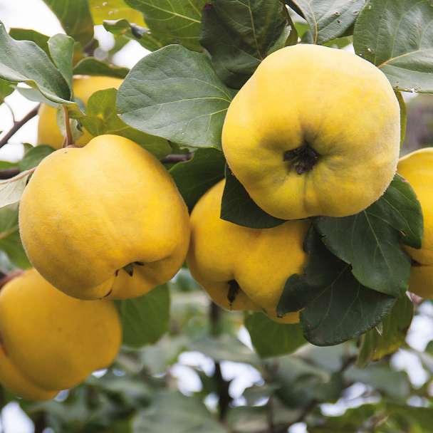 Apfelförmige Edel-Quitte 'Konstantinopel'