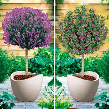Set-Preis: 1 x Duft-Lavendel Stamm + 1 x Duft-Rosmarin Stamm