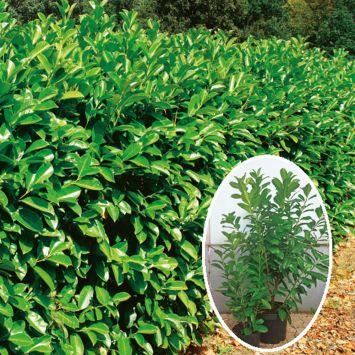 Kirschlorbeer Novita 80 cm