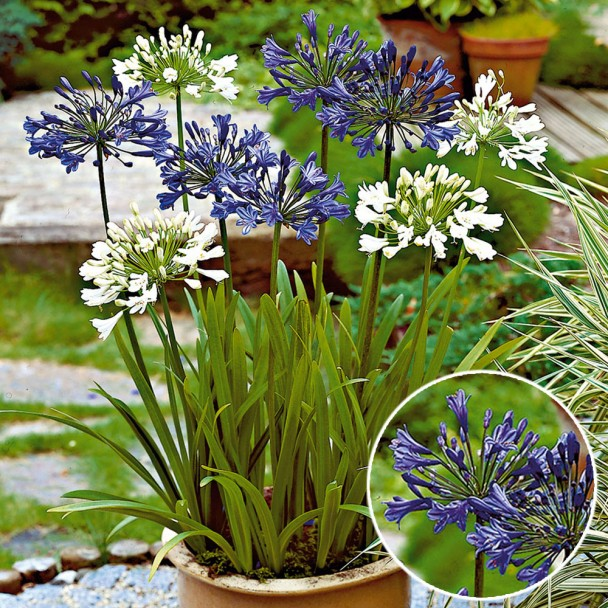 Schmucklilien, Blauviolett