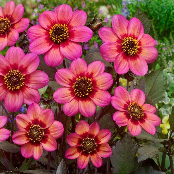 Dahlia Tri-Color