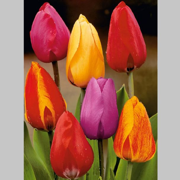 25 Darwin Hybrid-Tulpen