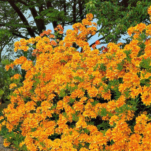Großblumige Azaleen 'Goldpracht' Goldgelb