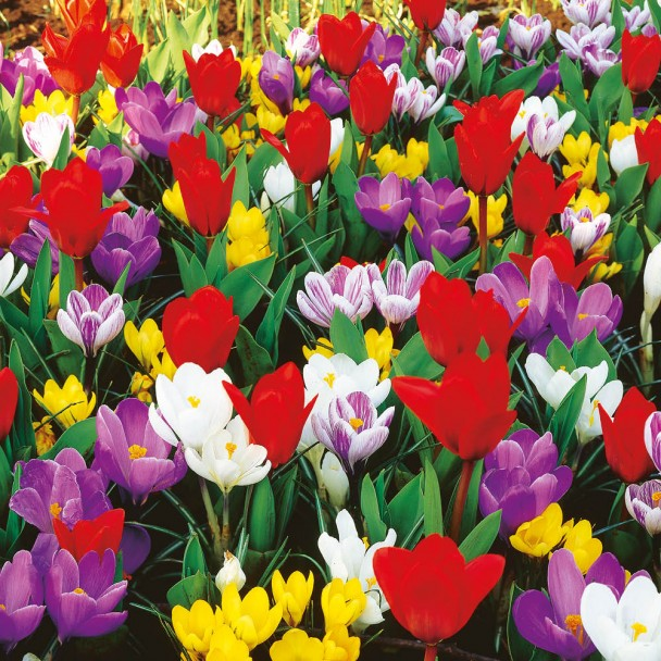Krokus-Tulpen-Frühlingsmischung