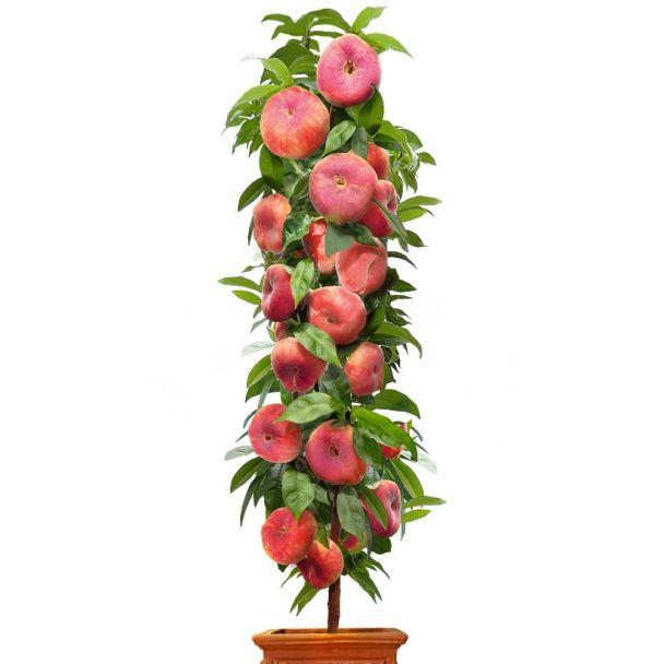 Säulenobstbaum Tellerpfirsich 'Little Pinocchio', zweijährig