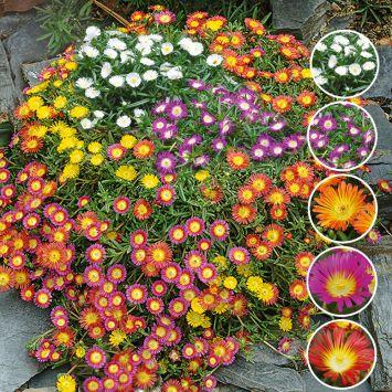Spar-Set: 15 großblumige Mittagsblumen 'Wheels of Wonder®'