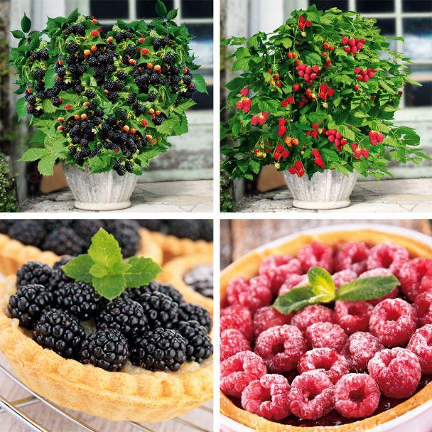 Set-Preis 2 Lowberry®: 1 Zwerg-Himbeere + 1 Zwerg-Brombeere