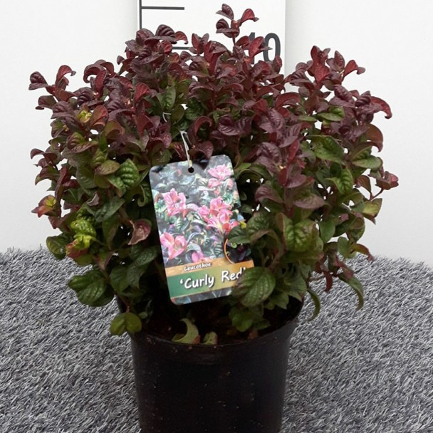 Lavendelheide 'Curly Red'