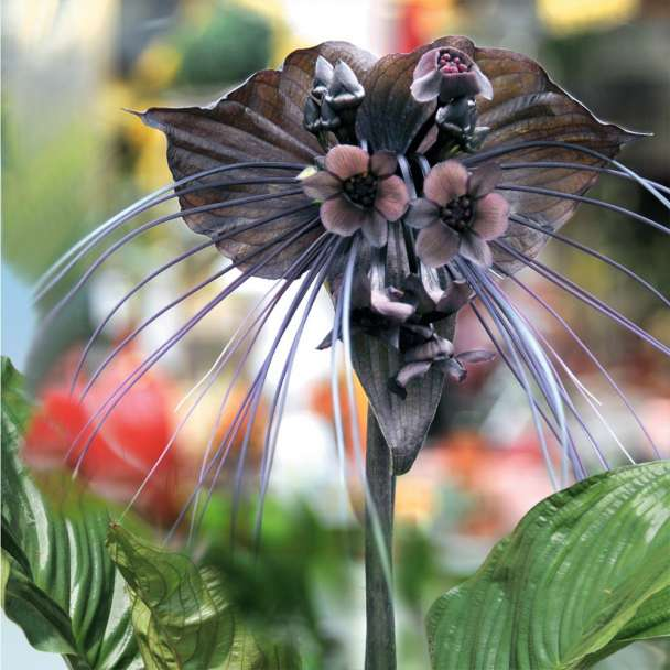 Tacca Black Beauty