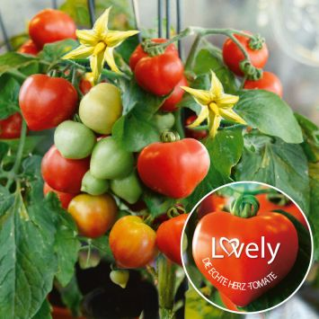 Herz-Tomate 'Lovely'