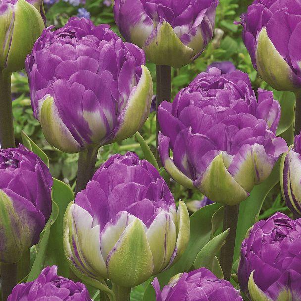 Gefüllte Tulpe Blue Wow