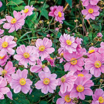 Herbst-Anemonen Rosa
