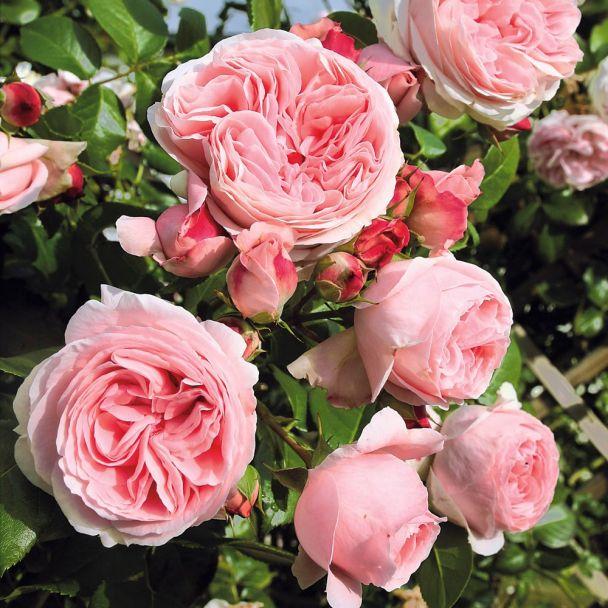 Rose 'Giardina®' im Container