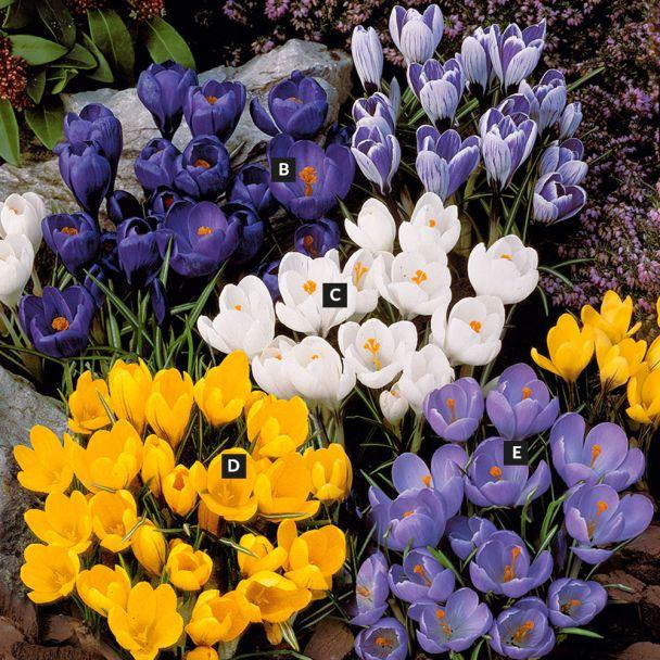 Set-Preis: 60 Großblumige Krokusse 20 Blau, 20 Weiß, 20 Gelb