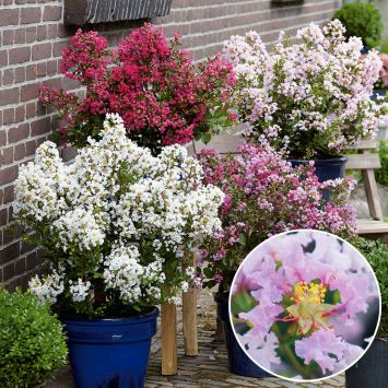 Lagerstroemia pink