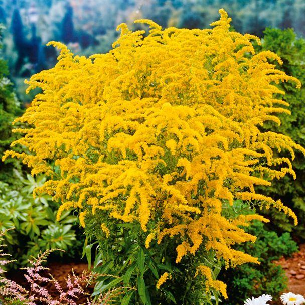 Goldrute, gelb