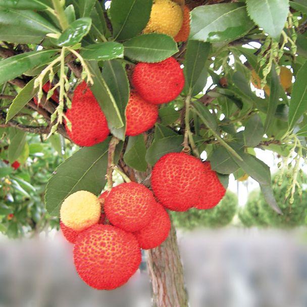 Erdbeerbaum, Busch