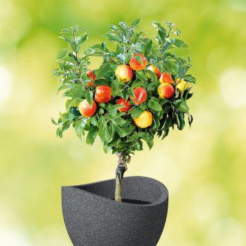 Zwerg-Apfel-Stämmchen