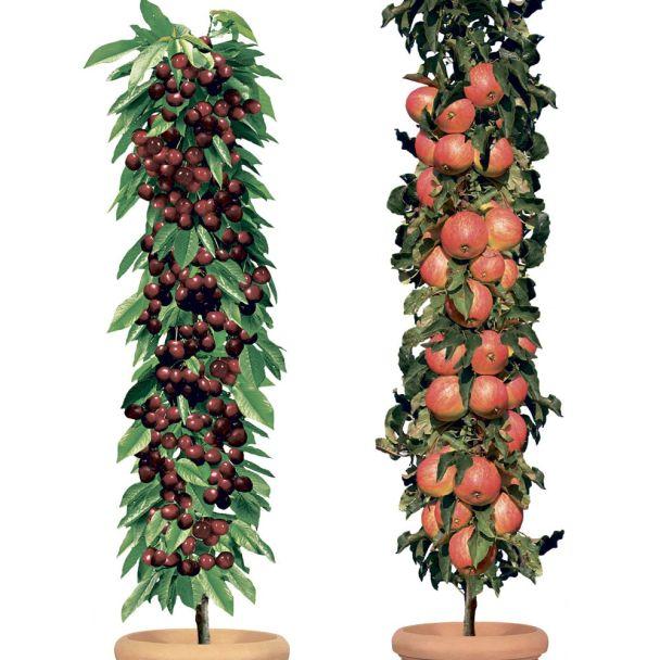 SET-Preis: Säulenobstbaum Apfel & Kirsche