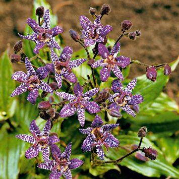 Kröten-Lilien 'Lilly Paradise', lila