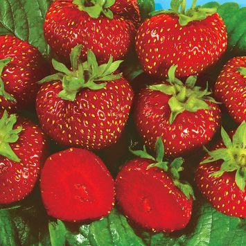 Erdbeere 'Asia' - Topfpflanze
