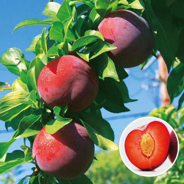 Aprikosen-Kirsche 'Aprikyra®'
