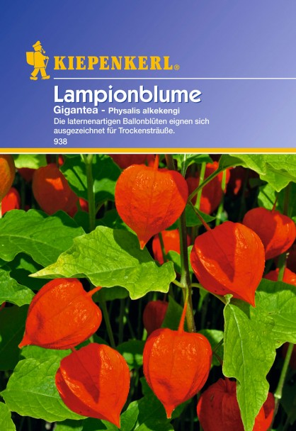 Lampionblume 'Physalis Gigantea'