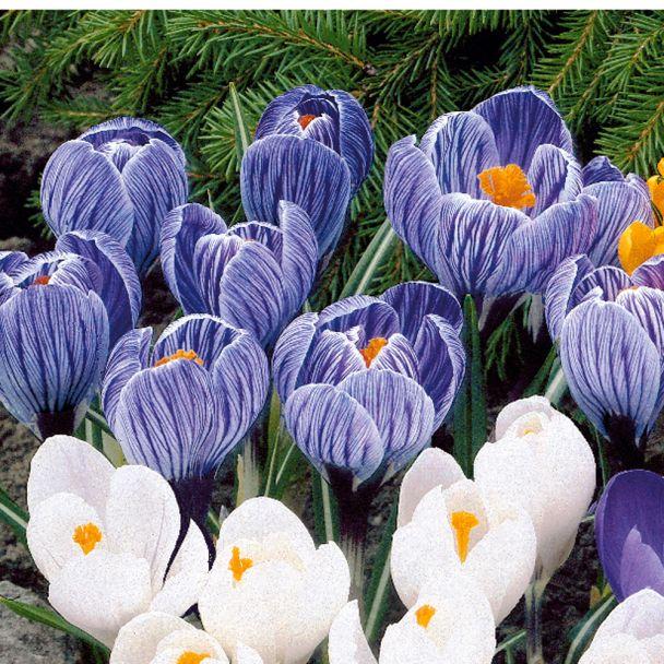 Großblumige Krokusse, Blau-Weiß