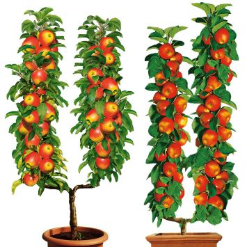 BefruchterSet: Elstar, CoxOrange U-Form-Bäume