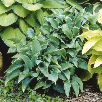 Hosta Hybriden 'Halycon'