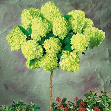 Riesen-Blüten-Hortensien-Stamm 'Limelight'