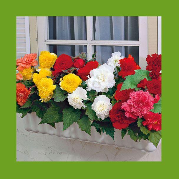 10 Doppelt gefüllte Fransen-Begonien - Blumenzwiebeln