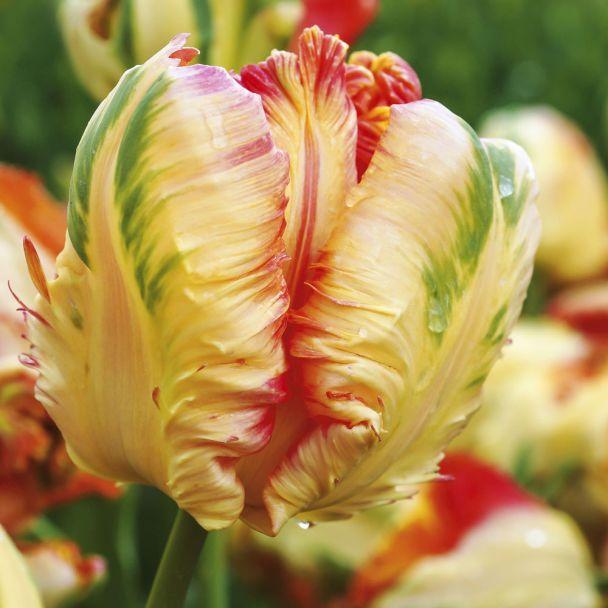 Tulpen Apricot Parrot