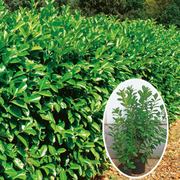 Kirschlorbeer Novita 40 cm