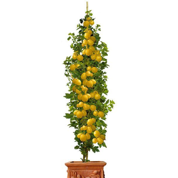 Säulen-Stachelbeere 'Mucurines', grün