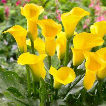 Calla (Zantedeschia) Goldgelb