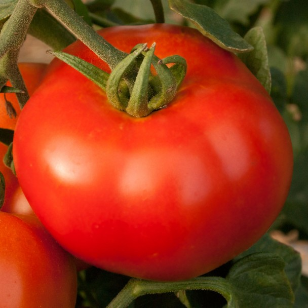 'Rondo Red' F1 - Salat-Tomate