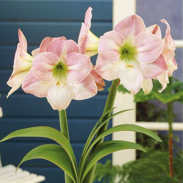 Amaryllis 'Apple Blossom'