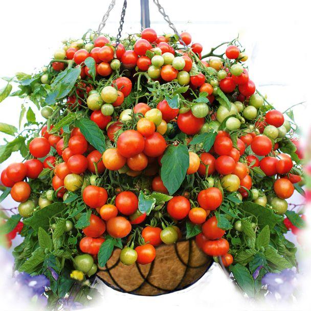 Hänge-Tomate 'Balkonia'
