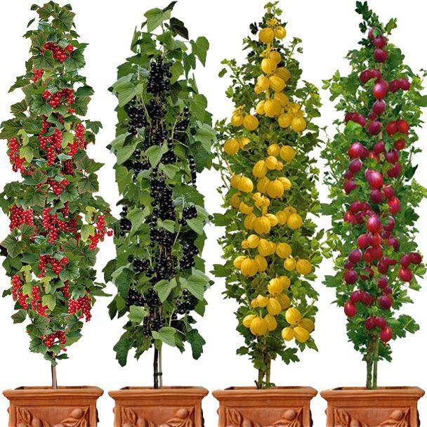 Set-Angebot 4 Beerenobst-Säulen: Rovada, Titania, Remarka, Mucurines
