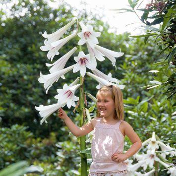 Riesenlilie