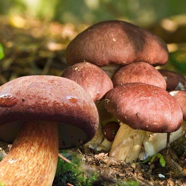 'Braunkappen' Waldgarten-Pilze