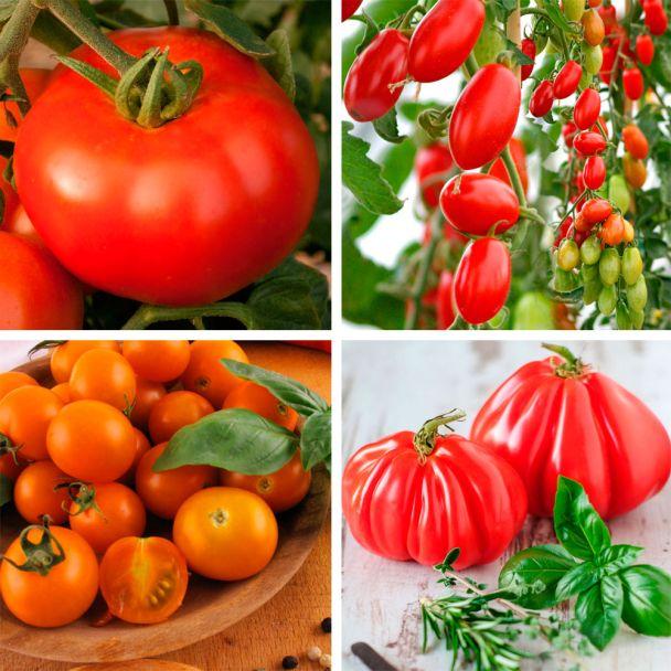 Set-Preis - 4 x Tomaten in 4 Sorten: 'Rondo Red', 'Marzino', 'CherryGold' und 'Giganto'
