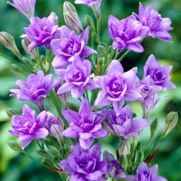 Triteleia Royal Blue