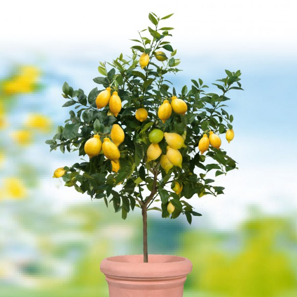 Echter Zitronenbaum 'Sorrento'