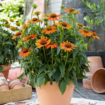 Sonnenhut 'Sombrero Deep Orange'