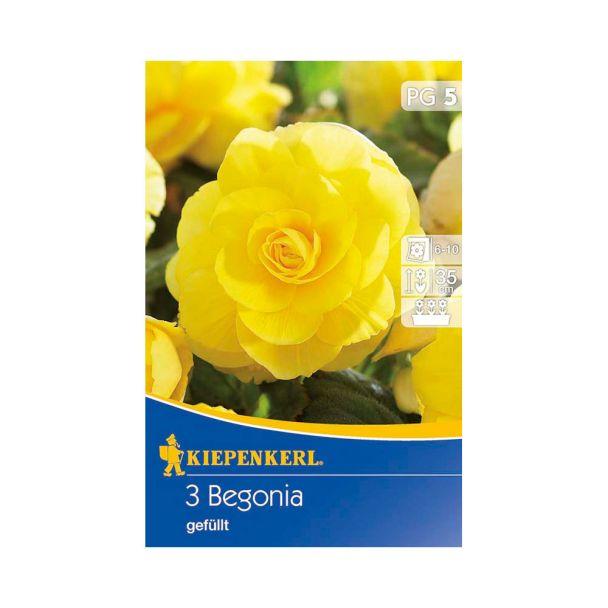 Begonien gefüllt, riesenblütig, gelb