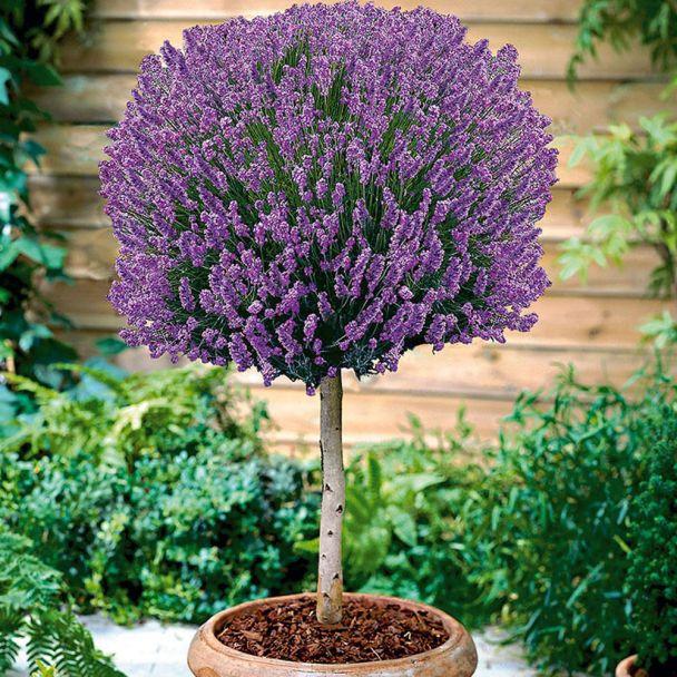 Duft-Lavendel auf Stamm