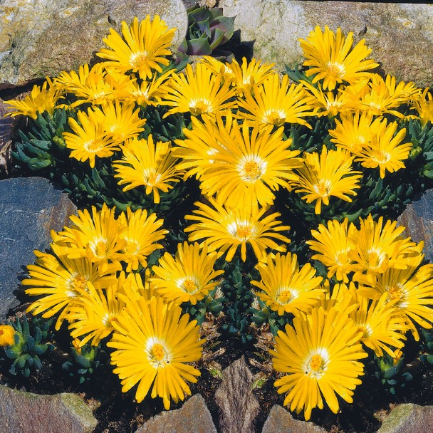 Zwerg-Mittagsblumen, leuchtendgelb