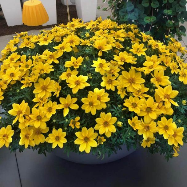 Bidens 'Giant Sun Francisco'